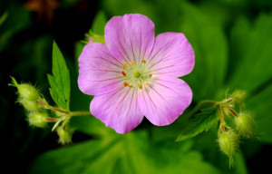 Wild Geranium 1 spring ephemeral flower health ecosystem